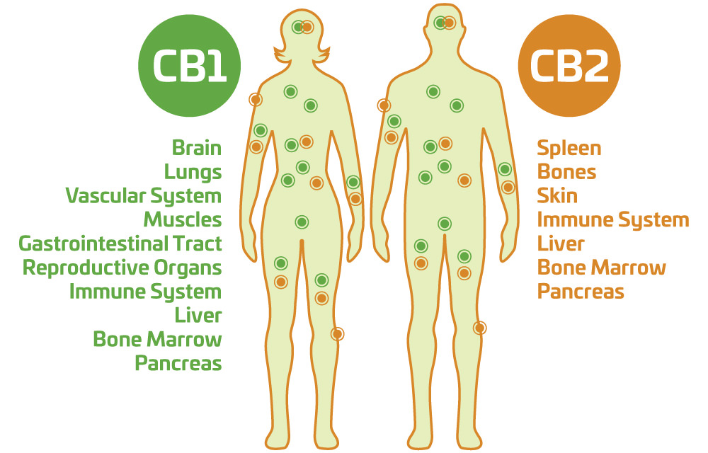 Endocannabinoid System Overview - Balance and Homeostasis